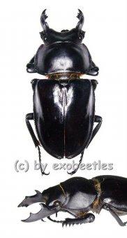 Neolucanus maximus maximus  ( 60 - 64 )