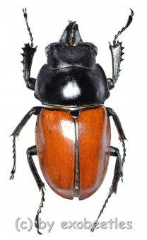 Neolucanus nitidus robustus  ( 35 - 39 )