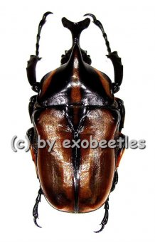 Neophaedimus auzouxi  A2