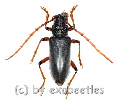 Neoplocaederus ruficornis  ( 25 - 29 )