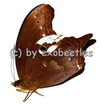 Neorina lowii neophyta