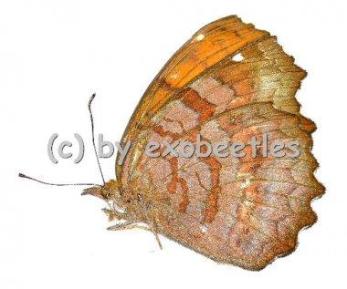 Nymphalidae spec. #1