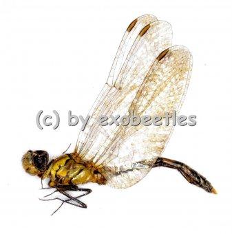Odonata spec. #11