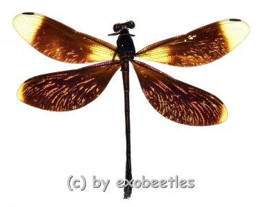 Odonata spec. #5