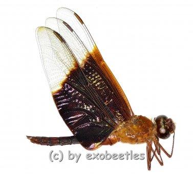 Odonata spec. #6