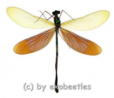 Odonata spec. #7