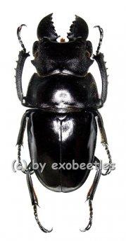 Odontolabis latipennis  ( 55 - 74 )  A2