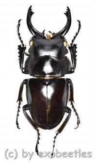 Odontolabis platynota coomani  ( 35 - 39 )
