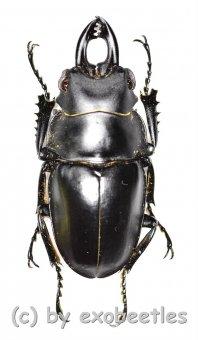 Odontolabis platynota coomani  ( 30 - 34 )
