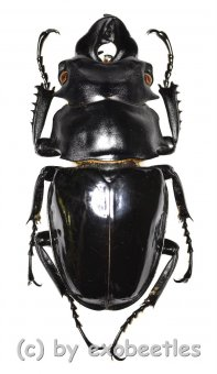 Odontolabis siva parryi ( amphiodonte )  ( 70 - 74 )