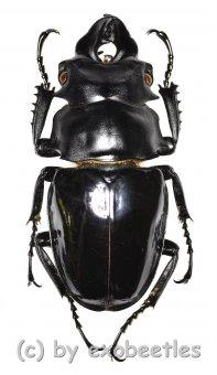 Odontolabis siva parryi ( amphiodonte )  ( 65 - 69 )