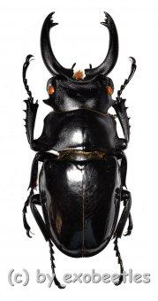 Odontolabis siva ( telodonte )  ( 80 – 84 )