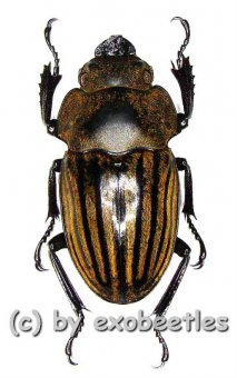 Odontolabis striata  ( 25 - 35 )