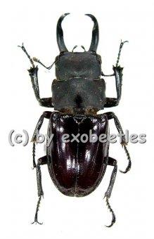 Odontolabis taroni  ( 25 – 29 )