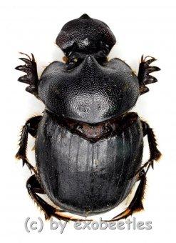 Onthophagus spec.  ( 15 – 19 )
