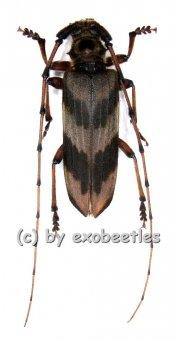 Oplatocera callidiodes  ( 30 - 34 )