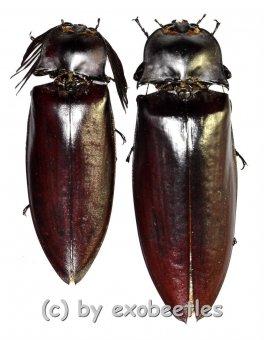 Oxynopterus audouini  ( M 60 – 64 )