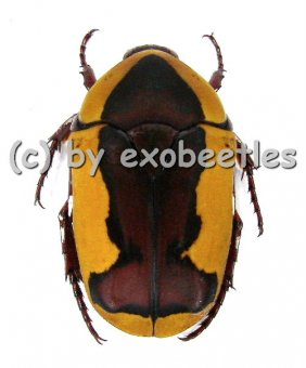 Pachnoda ephippiata ssp.falkei ( Zucht )  A2