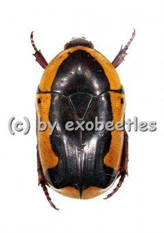Pachnoda ephippiata ssp.  ( 20 - 29 )