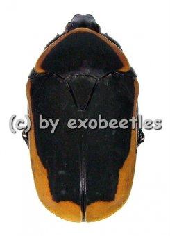 Pachnoda marginata  ( 20 - 24 )  A2