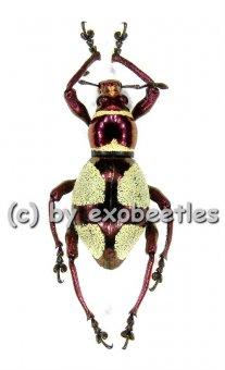 Pachyrrhynchus amabilis