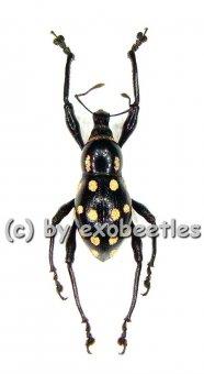 Pachyrrhynchus spec. #2 ( pink )  ( 10 - 14 )