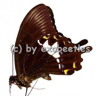 Papilio albinus  A1-