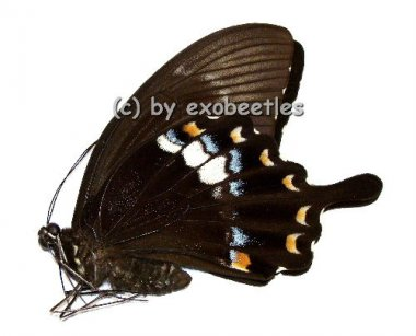 Papilio fuscus fuscus