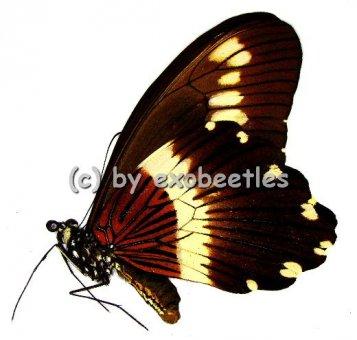 Papilio gallienus