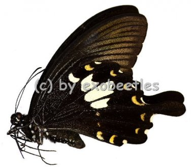 Papilio nephelus chaon  A2