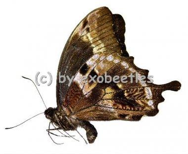 Papilio oribazus