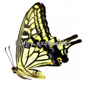 Papilio xuthus xuthus ( Sommer var. )