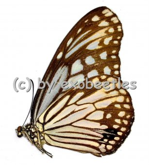 Parantica aglea ssp.  A2