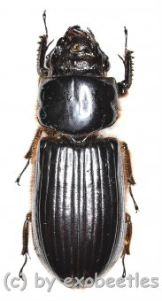 Passalidae spec. #4  ( 30 – 34 )