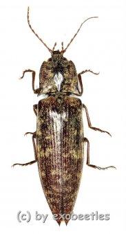 Pectocera spec.  ( 25 – 34 )
