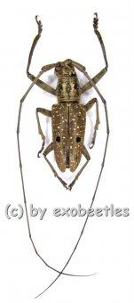 Pelargoderus alcanor thomsoni  A2