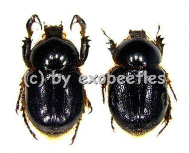 Peltonotus nasutus  ( 15 - 24 )