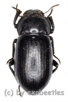 Penthicus altaicus  ( 10 - 14 )