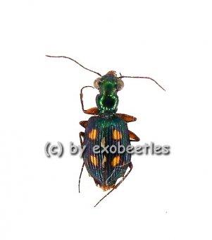 Pericalus ( Coeloprosopus ) tetrastigma  ( 5 - 9 )