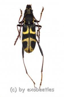 Perissus spec.  ( 10 – 14 )