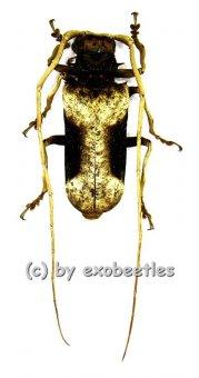 Petrognatha gigas  ( 45 - 49 )