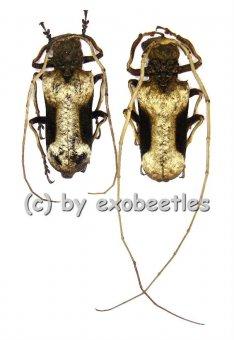 Petrognatha gigas  ( M 50 - 54 )