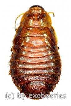 Phanastia spec. ( Nymphen var.1 )  ( 20 - 24 )  A2