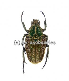 Philistina ( Rhinacosmus ) zebuanus  ( 15 - 19 )