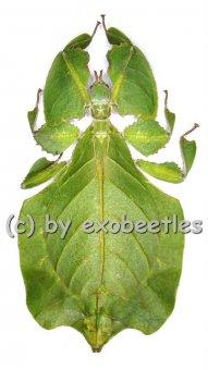 Phyllium bioculatum f.pulchrifolium  ( 80 – 84 )  A2