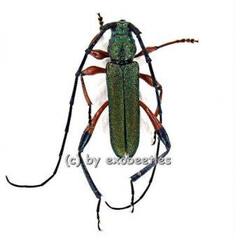 Phyllocnema spec.  A2