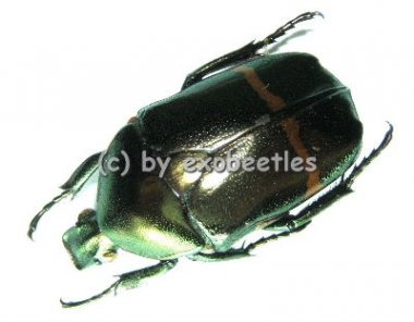 Plaesiorrhina cinctuta cinctuta