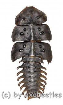 Platerodrilus sp.  ( 35 – 39 )