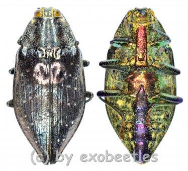 Polybothris impressipennis  ( 25 - 34 )  A2