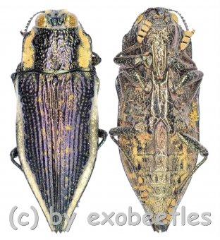 Polybothris spec. #1  ( 15 - 19 )